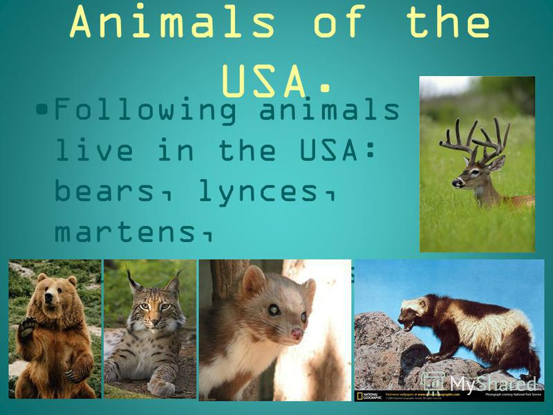 Animals of the USA. Following animals live in the USA: bears, lynces, martens, gluttons, deers.