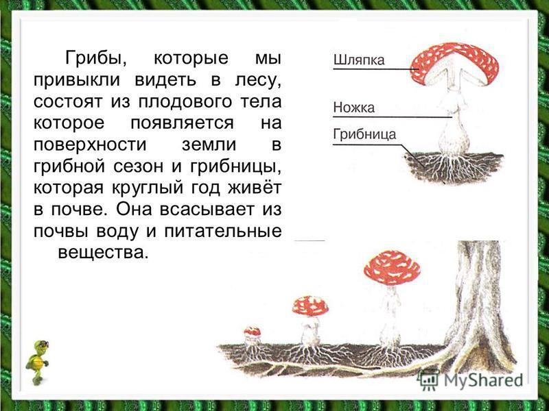 Грибы, которые мы привыкли видеть в лесу, состоят из плодового тела которое появляется на поверхности земли в грибной сезон и грибницы, которая круглый год живёт в почве. Она всасывает из почвы воду и питательные вещества.