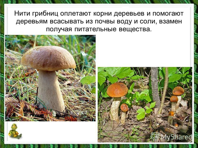 Нити грибниц оплетают корни деревьев и помогают деревьям всасывать из почвы воду и соли, взамен получая питательные вещества.