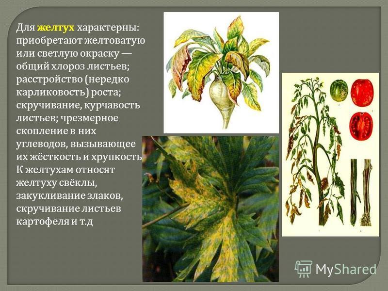 Для желтух характерны : приобретают желтоватую или светлую окраску общий хлороз листьев ; расстройство ( нередко карликовость ) роста ; скручивание, курчавость листьев ; чрезмерное скопление в них углеводов, вызывающее их жёсткость и хрупкость. К жел