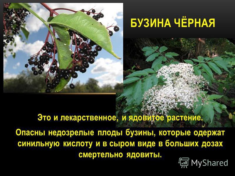 Это и лекарственное, и ядовитое растение. Опасны недозрелые плоды бузины, которые одержат синильную кислоту и в сыром виде в больших дозах смертельно ядовиты. БУЗИНА ЧЁРНАЯ