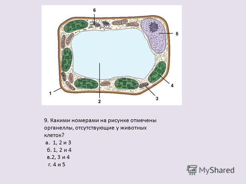 9. Какими номерами на рисунке отмечены органеллы, отсутствующие у животных клеток? а. 1, 2 и 3 б. 1, 2 и 4 в.2, 3 и 4 г. 4 и 5