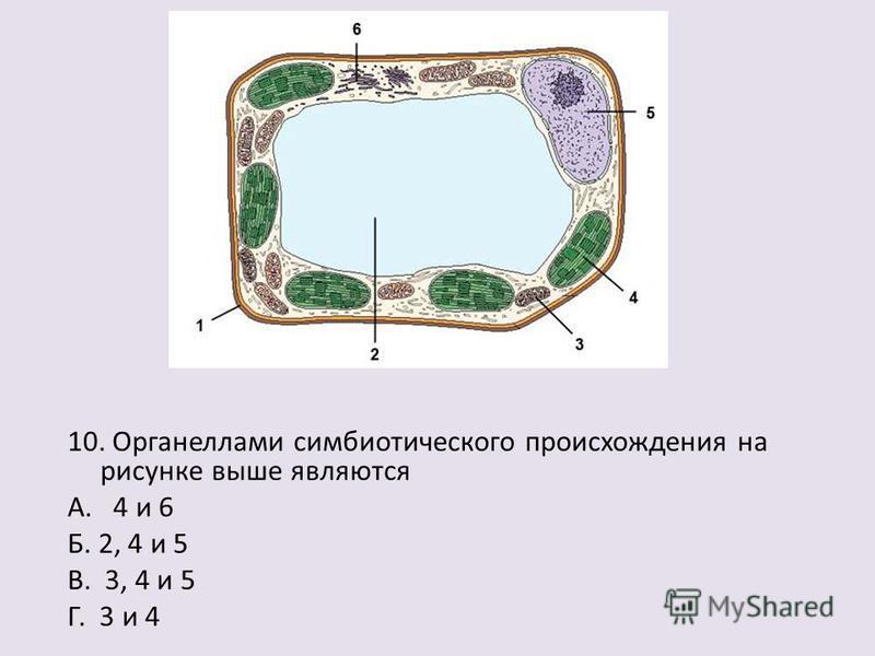 10. Органеллами симбиотического происхождения на рисунке выше являются А. 4 и 6 Б. 2, 4 и 5 В. 3, 4 и 5 Г. 3 и 4