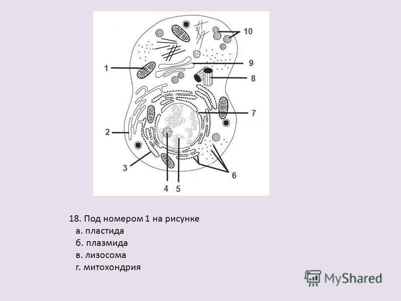 18. Под номером 1 на рисунке а. пластида б. плазмида в. лизосома г. митохондрия