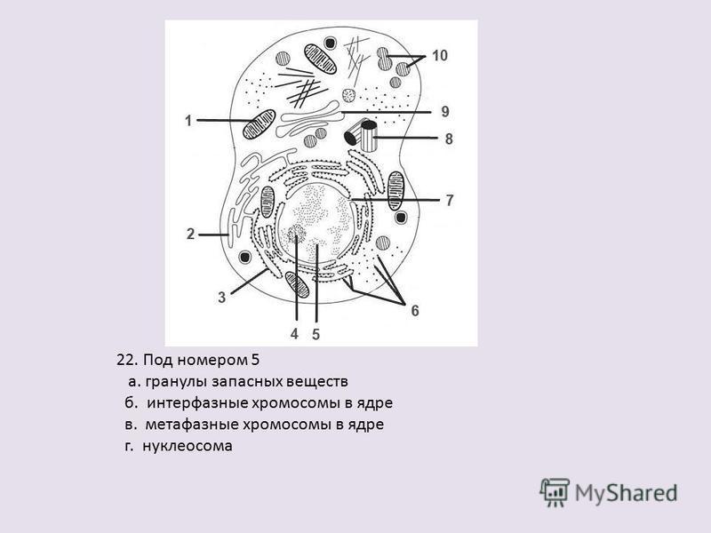 22. Под номером 5 а. гранулы запасных веществ б. интерфазные хромосомы в ядре в. метафазные хромосомы в ядре г. нуклеосома