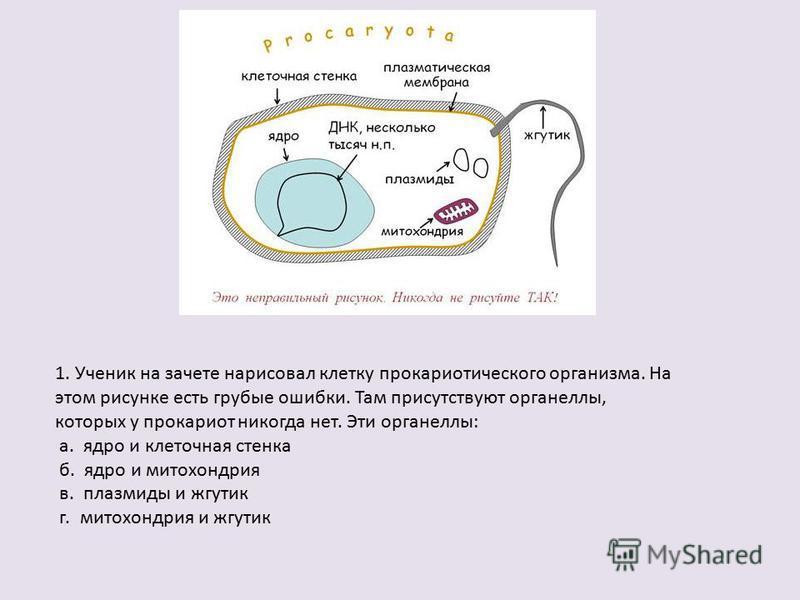 1. Ученик на зачете нарисовал клетку прокариотического организма. На этом рисунке есть грубые ошибки. Там присутствуют органеллы, которых у прокариот никогда нет. Эти органеллы: а. ядро и клеточная стенка б. ядро и митохондрия в. плазмиды и жгутик г.