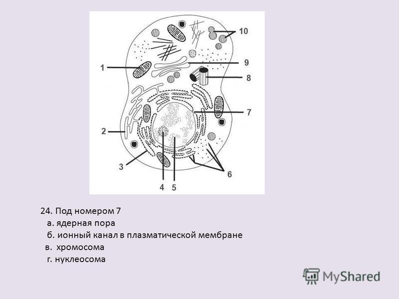 24. Под номером 7 а. ядерная пора б. ионный канал в плазматической мембране в. хромосома г. нуклеосома