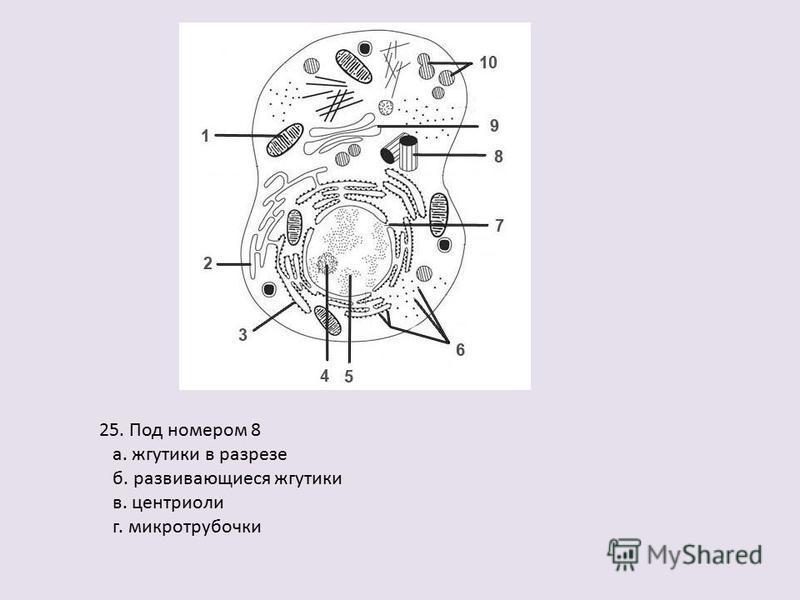 25. Под номером 8 а. жгутики в разрезе б. развивающиеся жгутики в. центриоли г. микротрубочки
