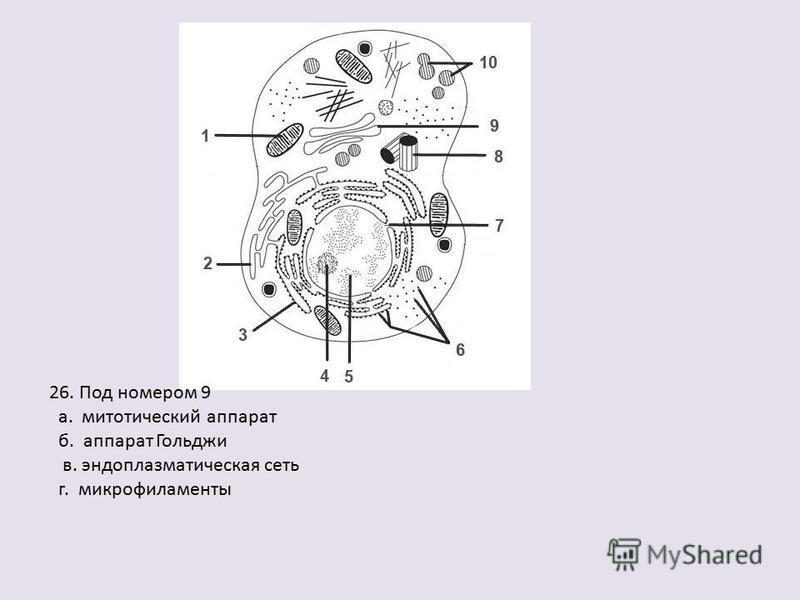 26. Под номером 9 а. митотический аппарат б. аппарат Гольджи в. эндоплазматическая сеть г. микрофиламенты
