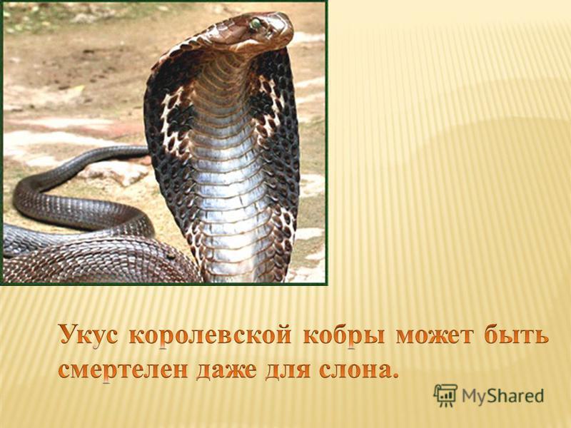 Какая из ядовитых змей самая крупная?