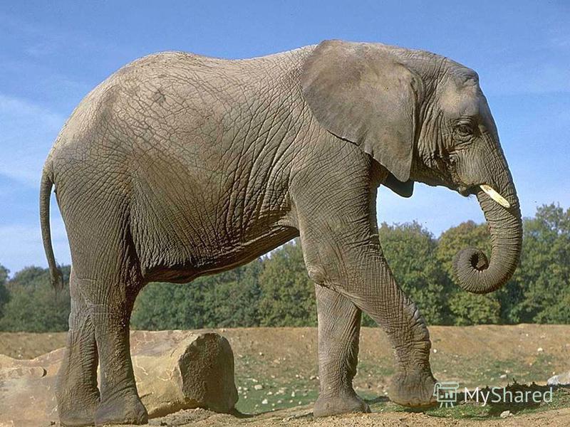 Какое сухопутное животное самое большое?
