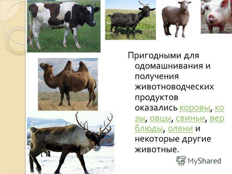 Пригодными для одомашнивания и получения животноводческих продуктов оказались коровы, козы, овцы, свиньи, верблюды, олени и некоторые другие животные. коровы козы овцы свиньи верблюды олени