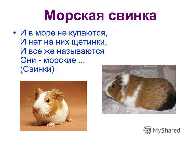 Морская свинка И в море не купаются, И нет на них щетинки, И все же называются Они - морские... (Свинки)