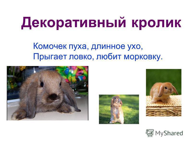 Декоративный кролик Комочек пуха, длинное ухо, Прыгает ловко, любит морковку.