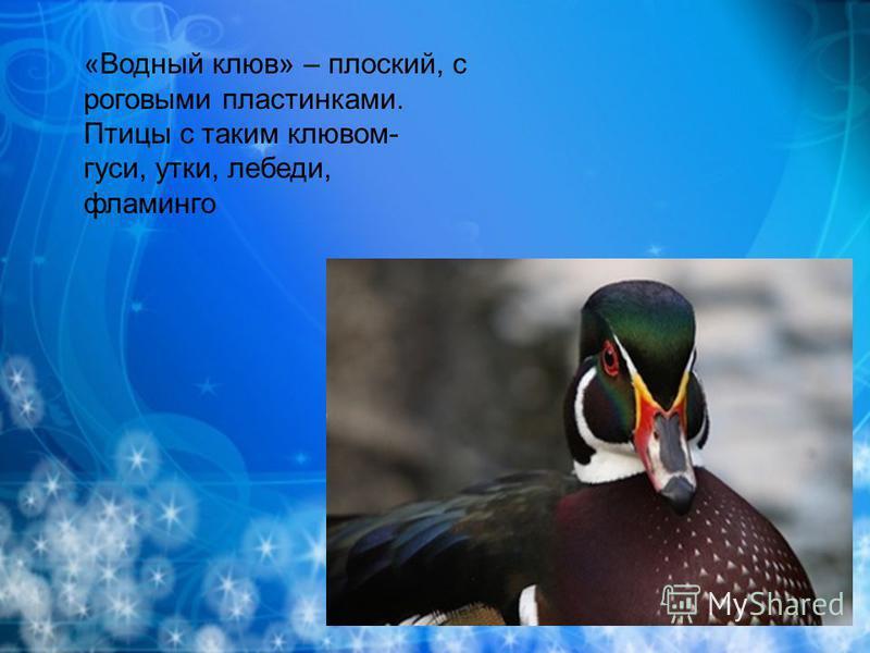 «Водный клюв» – плоский, с роговыми пластинками. Птицы с таким клювом- гуси, утки, лебеди, фламинго