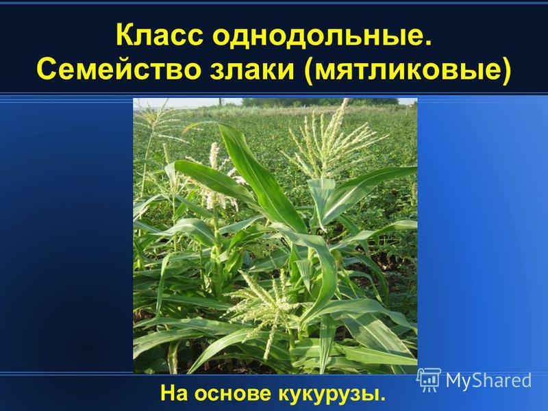Класс однодольные. Семейство злаки (мятликовые) На основе кукурузы.
