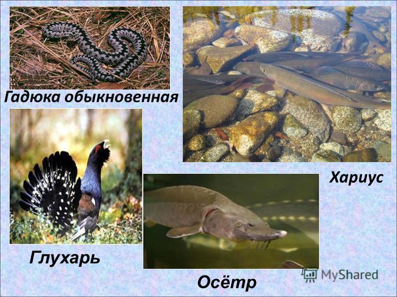 Гадюка обыкновенная Хариус Глухарь Осётр
