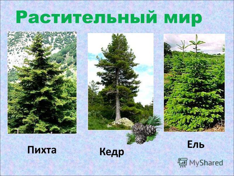 Растительный мир Пихта Кедр Ель