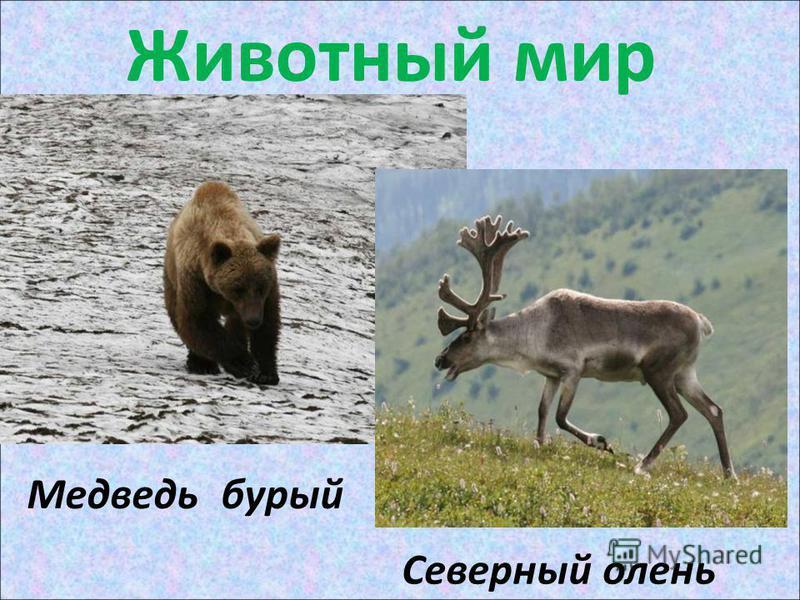 Животный мир Медведь бурый Северный олень