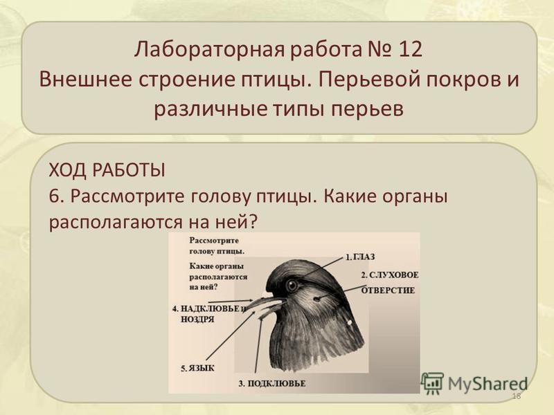 Лабораторная работа 12 Внешнее строение птицы. Перьевой покров и различные типы перьев ХОД РАБОТЫ 6. Рассмотрите голову птицы. Какие органы располагаются на ней? 18
