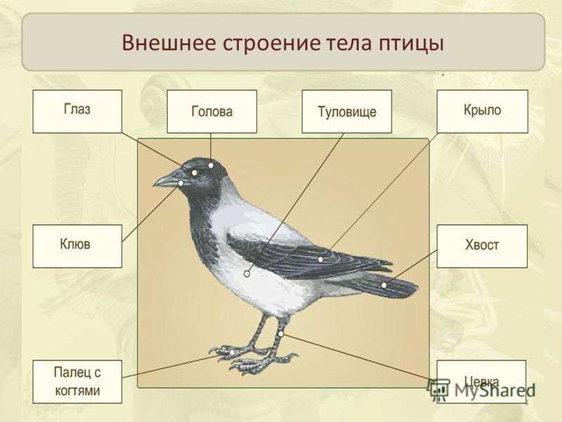 Внешнее строение тела птицы 4