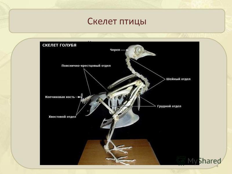 Скелет птицы 4