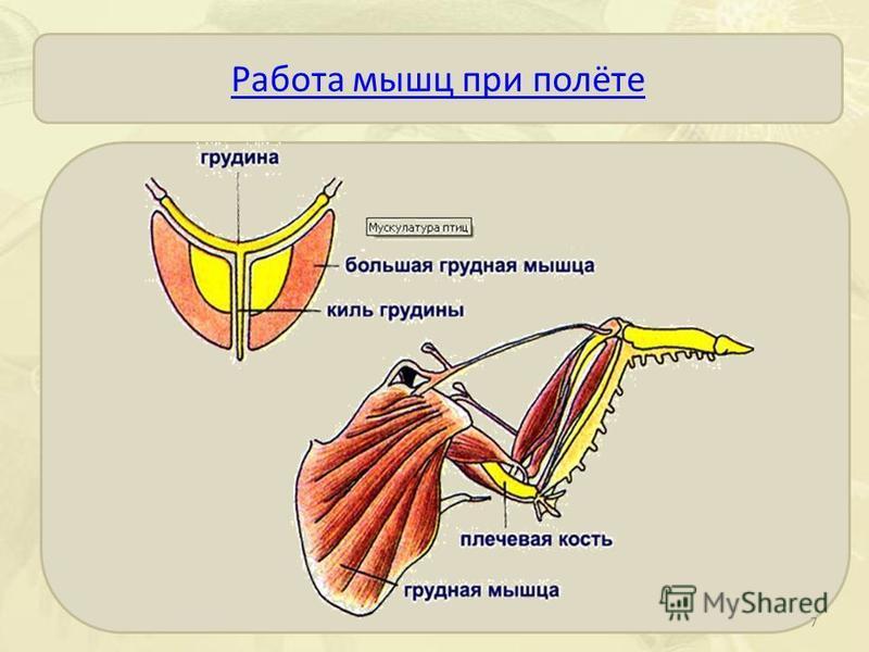 Работа мышц при полёте 7