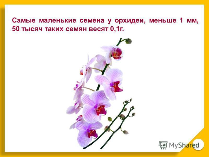 Самые маленькие семена у орхидеи, меньше 1 мм, 50 тысяч таких семян весят 0,1 г.