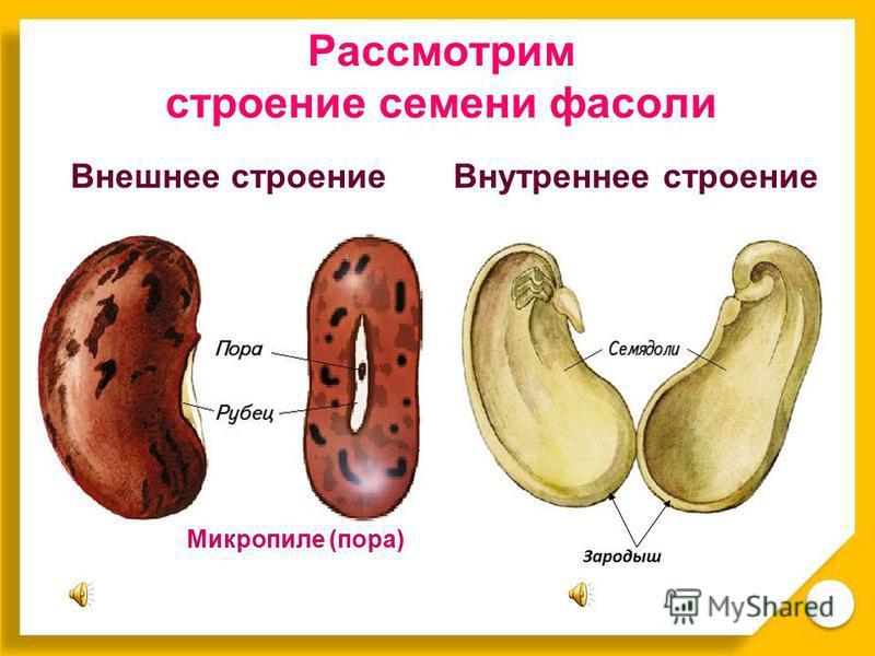 Зародыш Рассмотрим строение семени фасоли Внешнее строение Внутреннее строение Микропиле (пора)