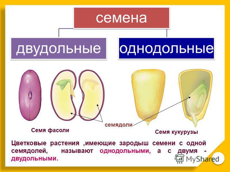 Цветковые растения,имеющие зародыш семени с одной семядолей, называют однодольными, а с двумя - двудольными. Семя кукурузы Семя фасоли семядоли семена двудольные однодольные