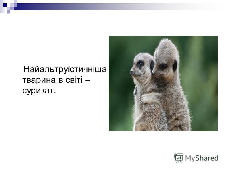 Найальтруїстичніша тварина в світі – сурикат.