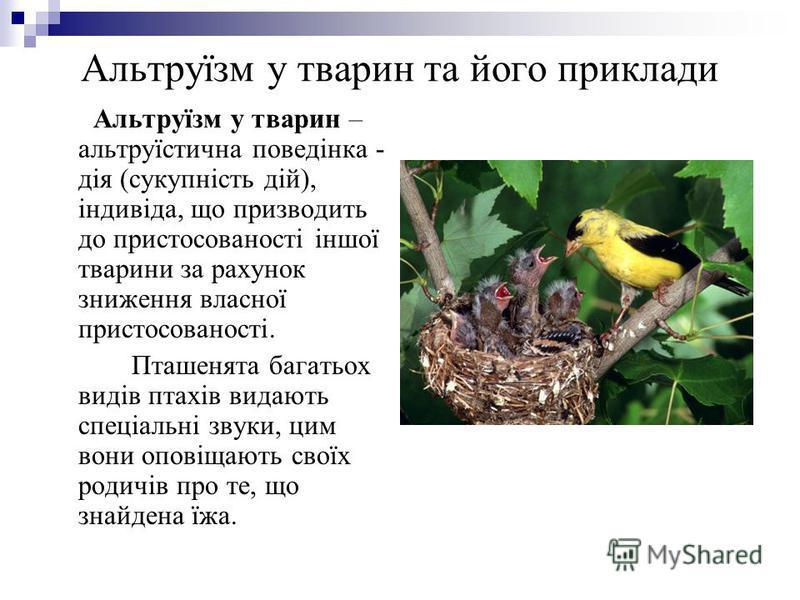 Альтруїзм у тварин та його приклади Альтруїзм у тварин – альтруїстична поведінка - дія (сукупність дій), індивіда, що призводить до пристосованості іншої тварини за рахунок зниження власної пристосованості. Пташенята багатьох видів птахів видають спе