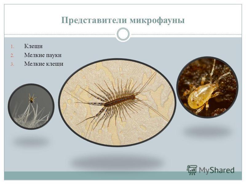 Представители микрофауны 1. Клещи 2. Мелкие пауки 3. Мелкие клещи