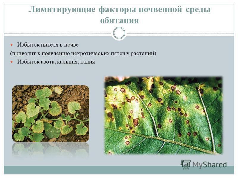 Лимитирующие факторы почвенной среды обитания Избыток никеля в почве (приводит к появлению некротических пятен у растений) Избыток азота, кальция, калия