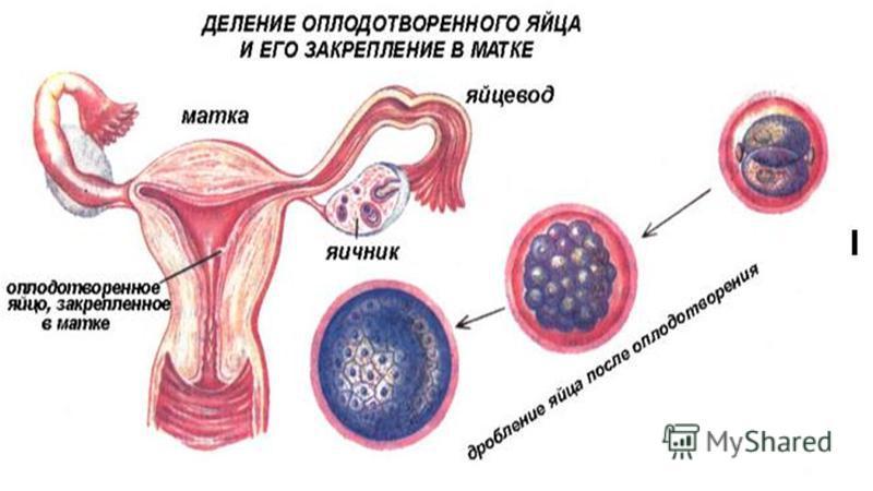 Календарь беременности по неделям с фото НовМама