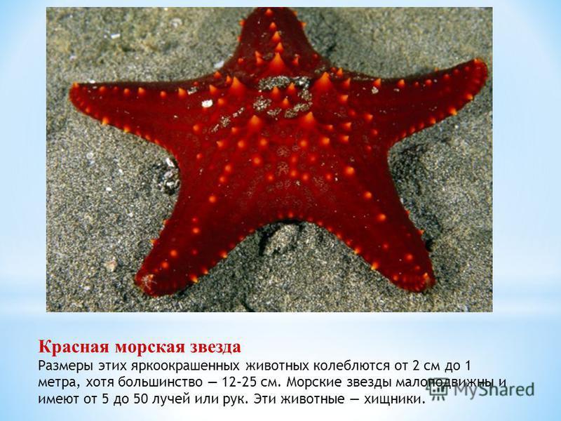 Красная морская звезда Размеры этих яркоокрашенных животных колеблются от 2 см до 1 метра, хотя большинство 12–25 см. Морские звезды малоподвижны и имеют от 5 до 50 лучей или рук. Эти животные хищники.