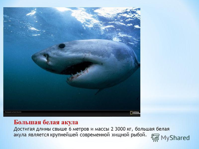 Большая белая акула Достигая длины свыше 6 метров и массы 2 3000 кг, большая белая акула является крупнейшей современной хищной рыбой.