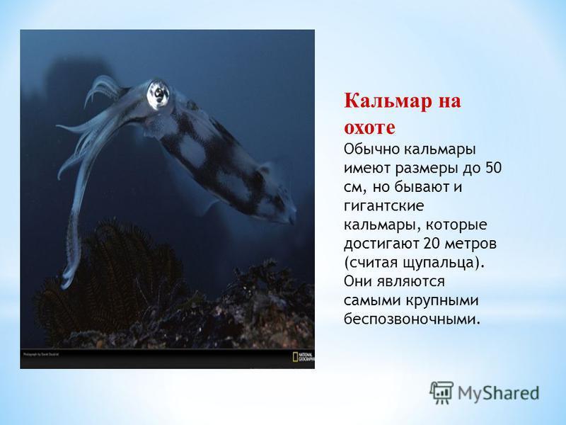 Кальмар на охоте Обычно кальмары имеют размеры до 50 см, но бывают и гигантские кальмары, которые достигают 20 метров (считая щупальца). Они являются самыми крупными беспозвоночными.