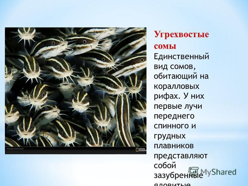 Угрехвостые сомы Единственный вид сомов, обитающий на коралловых рифах. У них первые лучи переднего спинного и грудных плавников представляют собой зазубренные ядовитые колючки.
