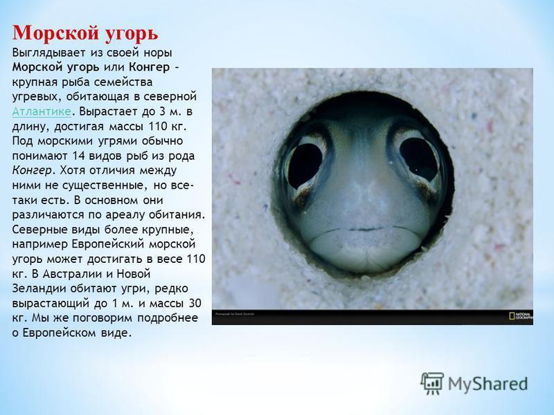 Морской угорь Выглядывает из своей норы Морской угорь или Конгер – крупная рыба семейства угревых, обитающая в северной Атлантике. Вырастает до 3 м. в длину, достигая массы 110 кг. Атлантике Под морскими угрями обычно понимают 14 видов рыб из рода Ко