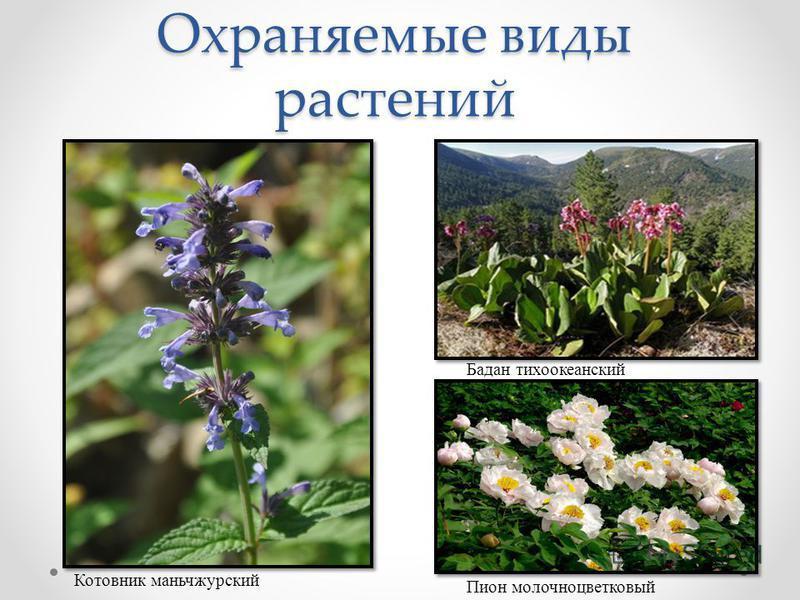 Охраняемые виды растений Бадан тихоокеанский Котовник маньчжурский Пион молочноцветковый