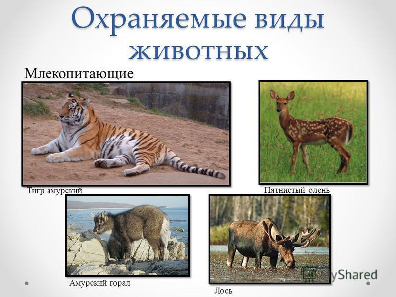 Охраняемые виды животных Млекопитающие Тигр амурский Пятнистый олень Лось Амурский горал