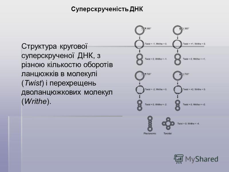Суперскрученість ДНК Структура кругової суперскрученої ДНК, з різною кількостю оборотів ланцюжків в молекулі (Twist) і перехрещень дволанцюжкових молекул (Writhe).