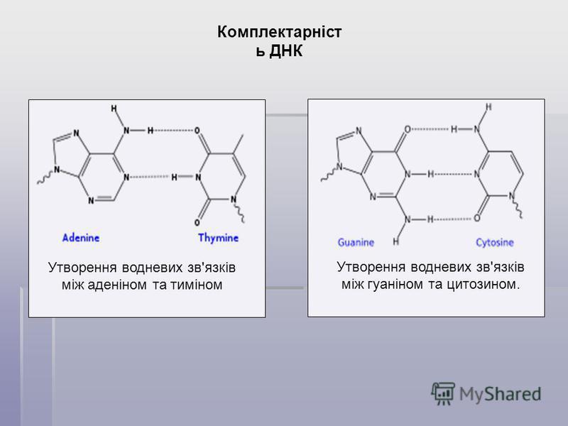 Комплектарніст ь ДНК Утворення водневих зв'язків між гуаніном та цитозином. Утворення водневих зв'язків між аденіном та тиміном