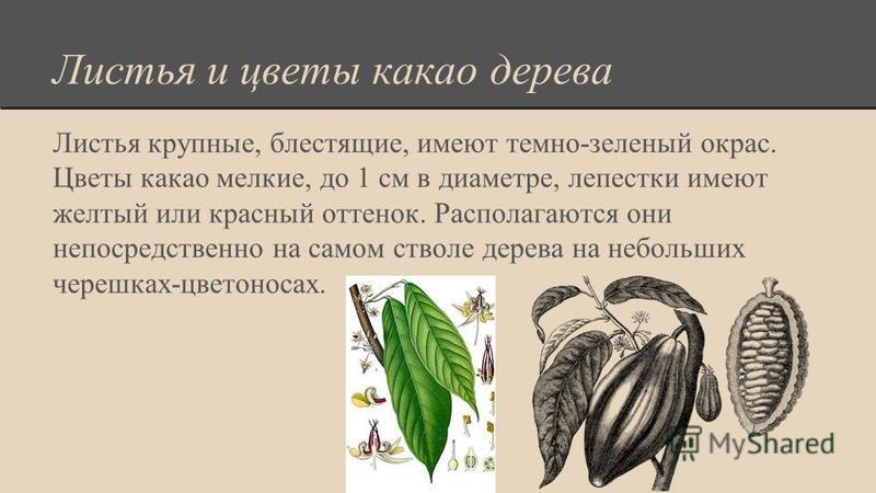 Листья и цветы какао дерева Листья крупные, блестящие, имеют темно-зеленый окрас. Цветы какао мелкие, до 1 см в диаметре, лепестки имеют желтый или красный оттенок. Располагаются они непосредственно на самом стволе дерева на небольших черешках-цветон