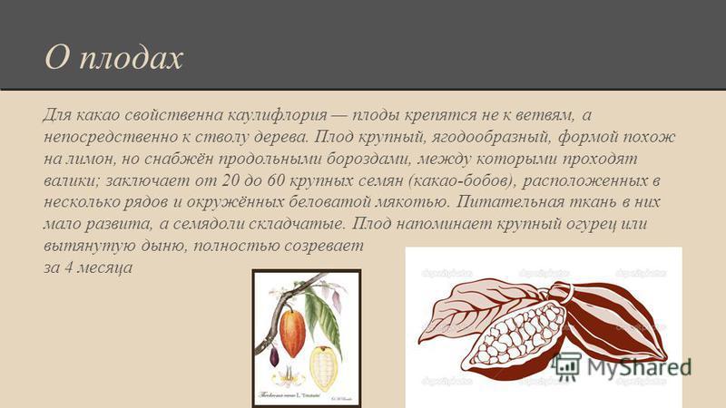 О плодах Для какао свойственна каулифлория плоды крепятся не к ветвям, а непосредственно к стволу дерева. Плод крупный, ягодообразный, формой похож на лимон, но снабжён продольными бороздами, между которыми проходят валики; заключает от 20 до 60 круп
