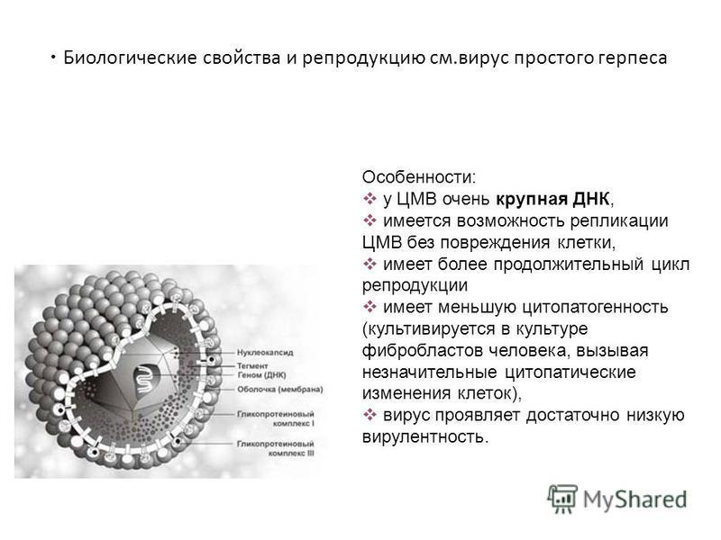 Биологические свойства и репродукцию см.вирус простого герпеса Особенности: у ЦМВ очень крупная ДНК, имеется возможность репликации ЦМВ без повреждения клетки, имеет более продолжительный цикл репродукции имеет меньшую цитопатогенность (культивируетс