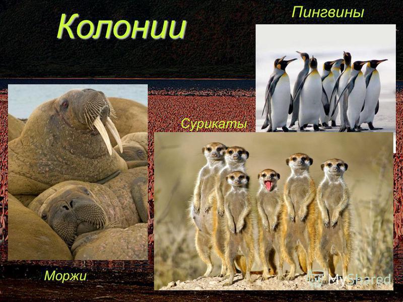 Колонии Пингвины Моржи Сурикаты