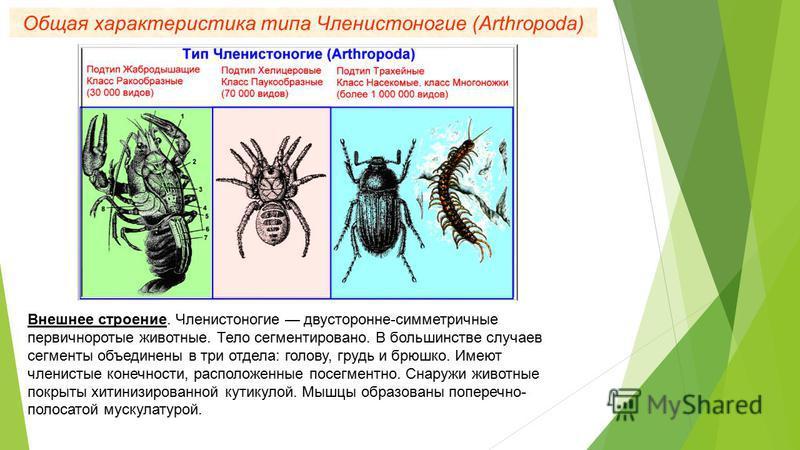 Общая характеристика типа Членистоногие (Arthropoda) Внешнее строение. Членистоногие двусторонне-симметричные первичноротые животные. Тело сегментировано. В большинстве случаев сегменты объединены в три отдела: голову, грудь и брюшко. Имеют членистые