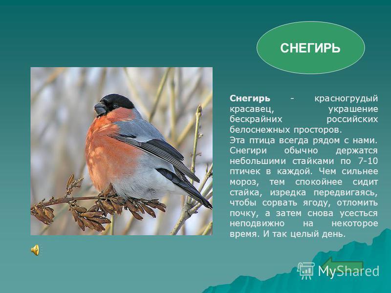 Снегирь - красногрудый красавец, украшение бескрайних российских белоснежных просторов. Эта птица всегда рядом с нами. Снегири обычно держатся небольшими стайками по 7-10 птичек в каждой. Чем сильнее мороз, тем спокойнее сидит стайка, изредка передви